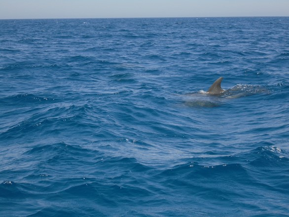 searching for wild dolphins in Hurghada by Speed boat